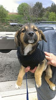 German Shepherd Dog/Beagle Mix Puppy for adoption in Thousand Oaks, California - Haley