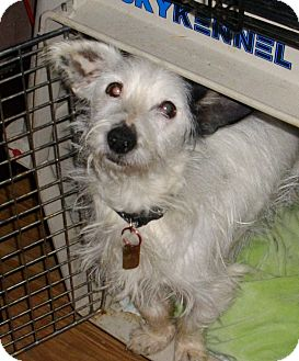 Terrier (Unknown Type, Small) Mix Dog for adoption in Sheridan, Oregon - Sir Hairy Paws