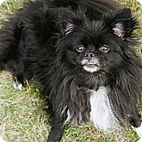 Adopt A Pet :: Gizmo - Downers Grove, IL