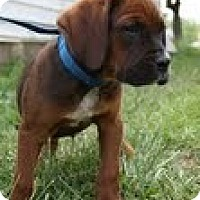 Adopt A Pet :: Dean - Brattleboro, VT