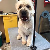 Adopt A Pet :: Collin - Sinking Spring, PA