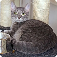 Domestic Shorthair Cat for adoption in St Louis, Missouri - Minerva