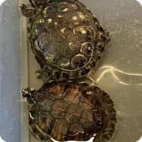 Adopt A Pet :: Yellow Bellied Sliders-Medium - Greenfield, IN