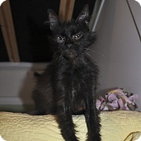 Adopt A Pet :: CHEWY *Affectionate kitten* - New Smyrna Beach, FL