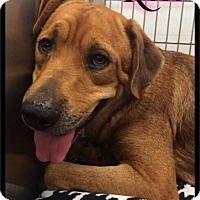 Rhodesian Ridgeback Dog for adoption in Maumelle, Arkansas - Rose - 397 / 2016
