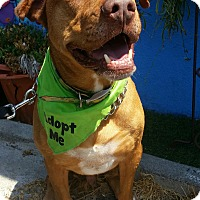 Labrador Retriever/Pit Bull Terrier Mix Dog for adoption in Los Angeles, California - Mac