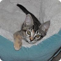 Domestic Mediumhair Kitten for adoption in La Canada Flintridge, California - Jenny - Available Today!