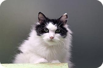 Domestic Longhair Cat for adoption in Indianapolis, Indiana - Ro Laren