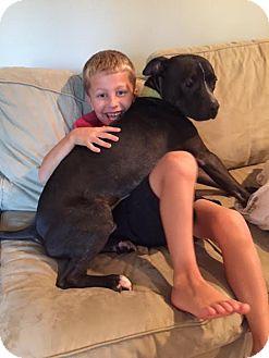American Bulldog/Labrador Retriever Mix Dog for adoption in Columbia, Maryland - Brotus