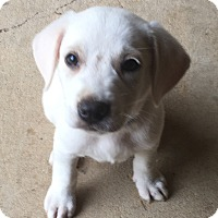 Labrador Retriever Mix Puppy for adoption in Trenton, New Jersey - George (adopted)