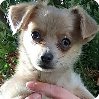 Terrier (Unknown Type, Small) Mix Puppy for adoption in Oakley, California - Minxie