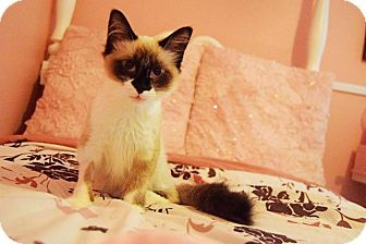 Siamese Kitten for adoption in Fenton, Missouri - Rajah