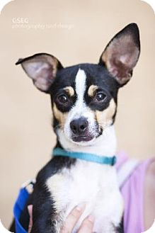 Chihuahua Mix Dog for adoption in Dallas, Texas - Rex