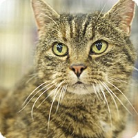 Adopt A Pet :: Sheba - Great Falls, MT