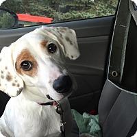 Adopt A Pet :: Dayzee - ST LOUIS, MO