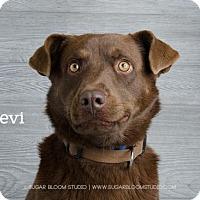 Chesapeake Bay Retriever Mix Dog for adoption in Denver, Colorado - Levi