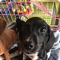 Adopt A Pet :: Violet - San Diego, CA