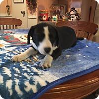 Adopt A Pet :: Anna - Kittery, ME