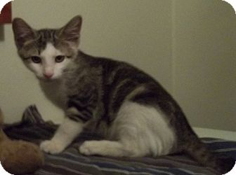 Domestic Shorthair Kitten for adoption in Witter, Arkansas - CRACKER
