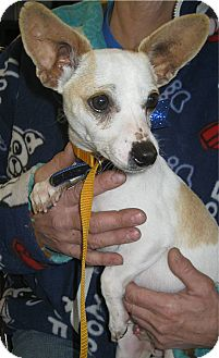 Chihuahua/Terrier (Unknown Type, Small) Mix Dog for adoption in Phoenix, Arizona - Squeekers
