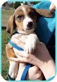 Beagle/Spaniel (Unknown Type) Mix Puppy for adoption in Allentown, Pennsylvania - Squiggles