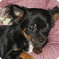 Adopt A Pet :: Valentina - Salem, NH