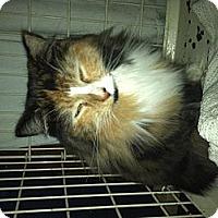 Adopt A Pet :: Godiva - Clay, NY