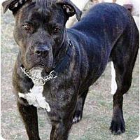 Adopt A Pet :: Lux - Gilbert, AZ