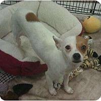 Adopt A Pet :: Peyton - Phoenix, AZ
