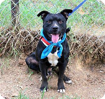 American Bulldog Mix Dog for adoption in Muldrow, Oklahoma - Winston