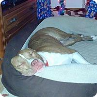 Adopt A Pet :: Tyler - Villa Park, IL