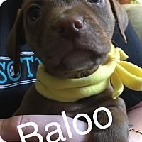 Adopt A Pet :: Baloo - Charlotte, NC