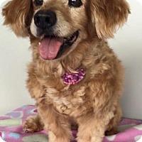 Dachshund Dog for adoption in Weston, Florida - Candy Girl