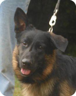 German Shepherd Dog Dog for adoption in Holly Hill, South Carolina - Radar-In Holly Hill, SC