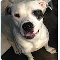 Adopt A Pet :: Spot - Springdale, AR