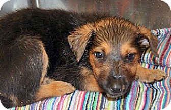 German Shepherd Dog Mix Puppy for adoption in Wildomar, California - Joy