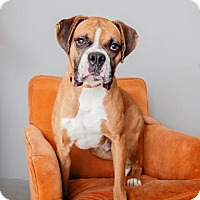 Boxer Mix Dog for adoption in Mission Hills, California - Mango