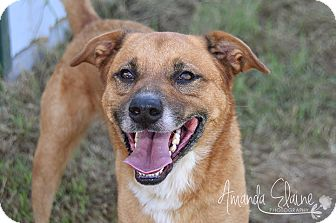 Shepherd (Unknown Type) Mix Dog for adoption in Pilot Point, Texas - DAX