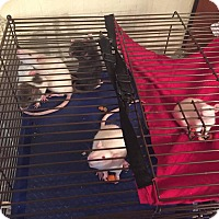 Adopt A Pet :: BABY GIRL RATS IN DE! - Philadelphia, PA