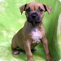 Adopt A Pet :: JOJO - Westminster, CO