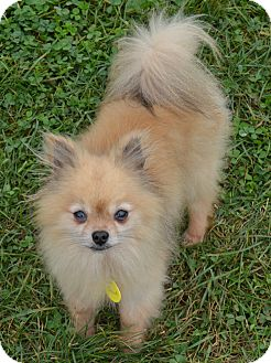 Pomeranian Dog for adoption in Prole, Iowa - Scout