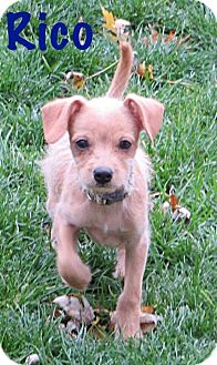 Chihuahua/Terrier (Unknown Type, Small) Mix Puppy for adoption in Fort Wayne, Indiana - Rico