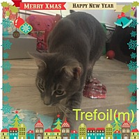 Adopt A Pet :: Trefoil - Brentwood, NY