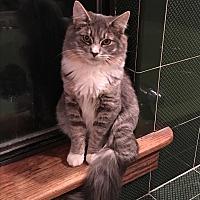 Adopt A Pet :: Hattori - Bedford Hills, NY