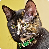 Domestic Shorthair Cat for adoption in St. Louis, Missouri - Etta