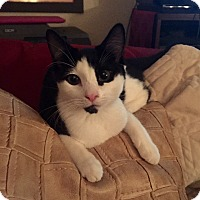 Domestic Shorthair Kitten for adoption in Old Bridge, New Jersey - Mystery