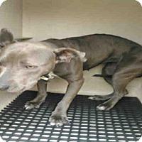 Adopt A Pet :: A420498 - San Antonio, TX