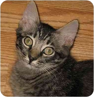 Maine Coon Kitten for adoption in AUSTIN, Texas - Homer