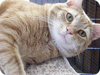 Domestic Shorthair Cat for adoption in Newburgh, New York - Rascal