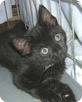 Domestic Shorthair Cat for adoption in Miami, Florida - Moonlight